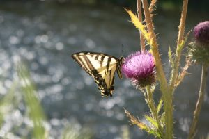 Western Tiger Swallowtail, Mayberry Park. July 2016.