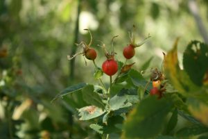 Rose hips forming on Woods' Rose, Mayberry Park. July 2016.