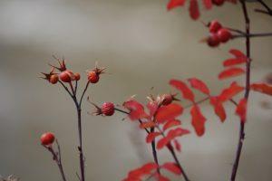 Hips and leaves of Woods' Rose, Dorostkar Park. October 2016.